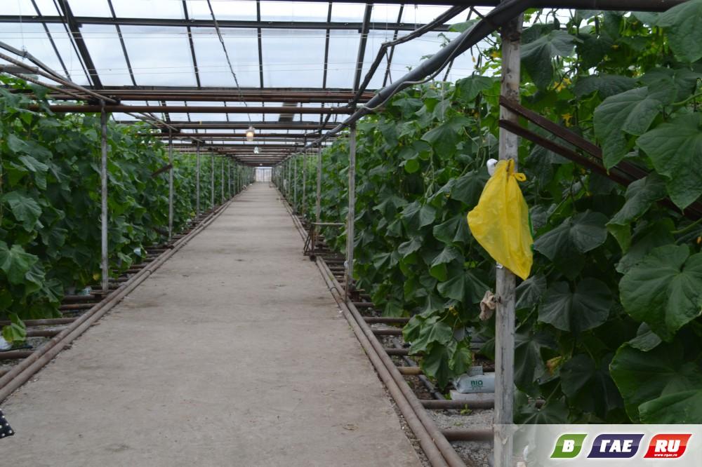 Выращивание огурцов в теплице зимой из поликарбоната 80