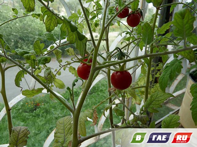 На балконах выращивают цветы, помидоры, гранаты - в гае ру.