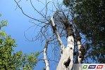 Сухое дерево может упасть на головы десятков людей