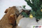 Собачий хоровод под  елкой. Фоторепортаж