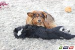 Пес отогревает попавшую под колеса собаку
